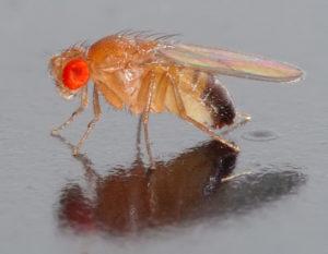 Fruchfliege (Foto André Karwath - Wikipedia.de)