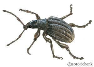 Dickmaulruessler Käfer